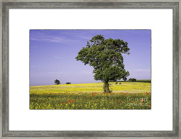 Tree In Rape Field No1 Framed Print by George Hodlin