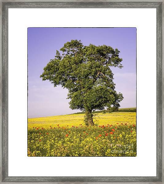 Tree In Rape Field No3 Framed Print by George Hodlin