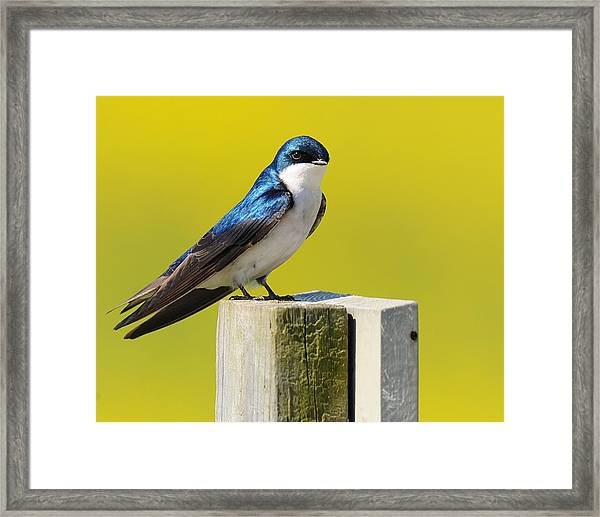 Tree Swallow Framed Print by Angel Cher