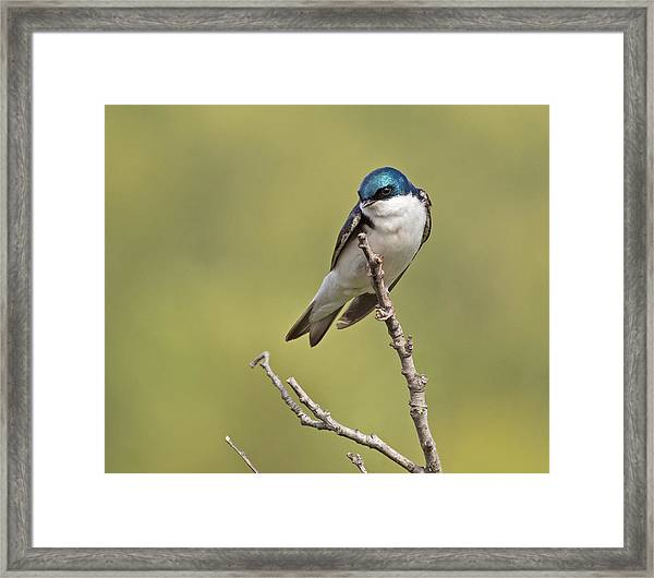 Tree Swallow Framed Print by Brian Magnier