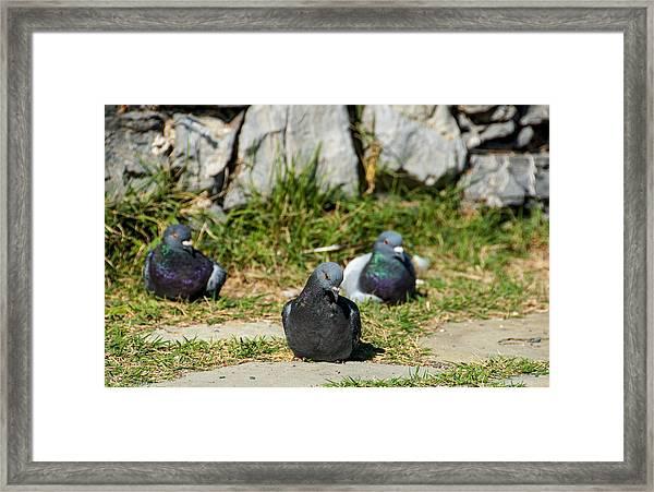 Tres Pigeons Framed Print