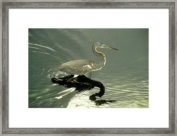 Tricoloured Heron Framed Print