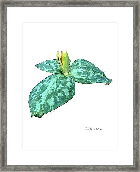 Trillium 3 Framed Print