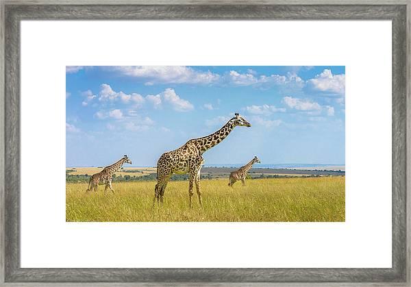 Trio Giraffes Framed Print