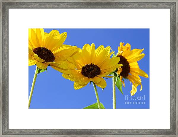 Trio In The Sun - Yellow Daisies By Diana Sainz Framed Print