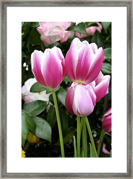 Trio Of Tulips Framed Print