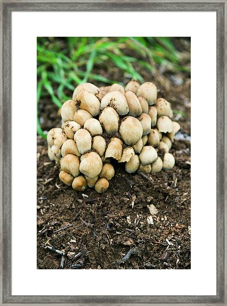 Trooping Crumble Cap Fungi Framed Print by Gustoimages/science Photo Library