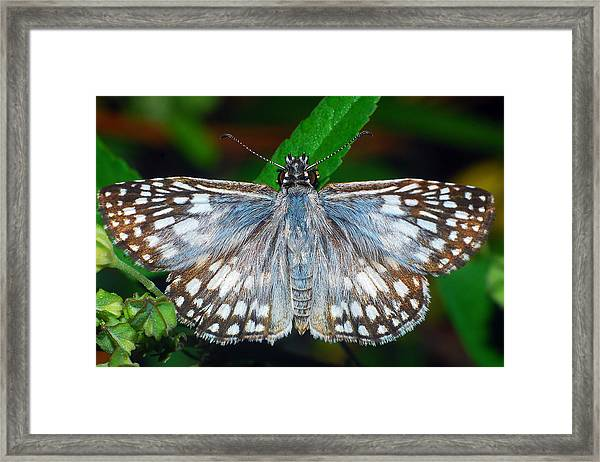 Tropical Checkered Skipper Framed Print