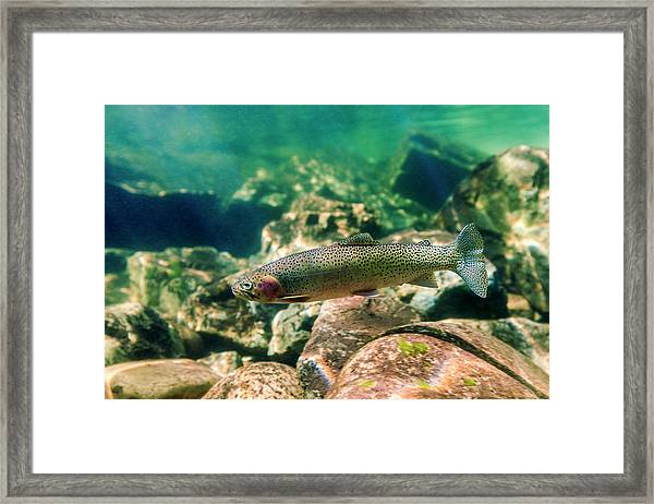 Trout In The Locsa River, Idaho Framed Print