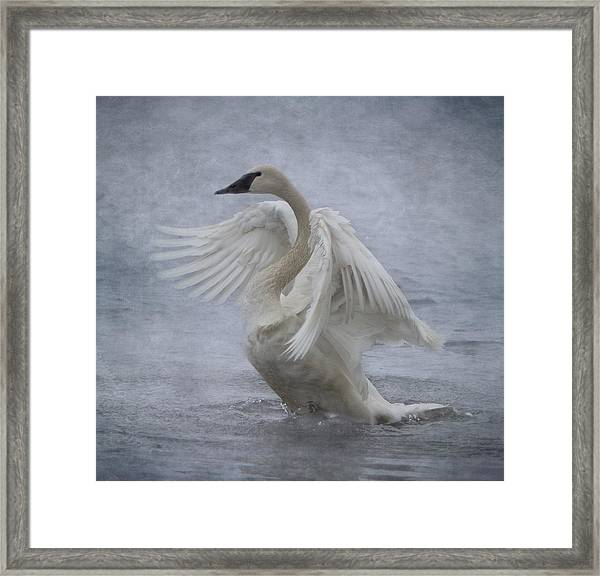 Framed Print featuring the photograph Trumpeter Swan - Misty Display by Patti Deters