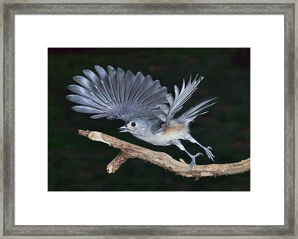Tufted Titmouse Take-off Framed Print