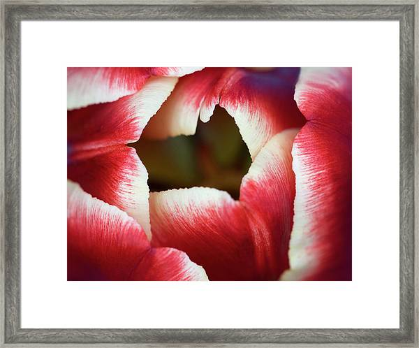 Tulip Abstract Framed Print by Nigel Downer
