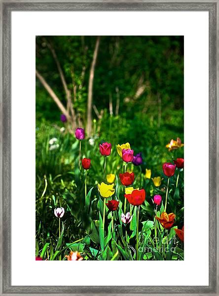 Tulip Rainbow Framed Print