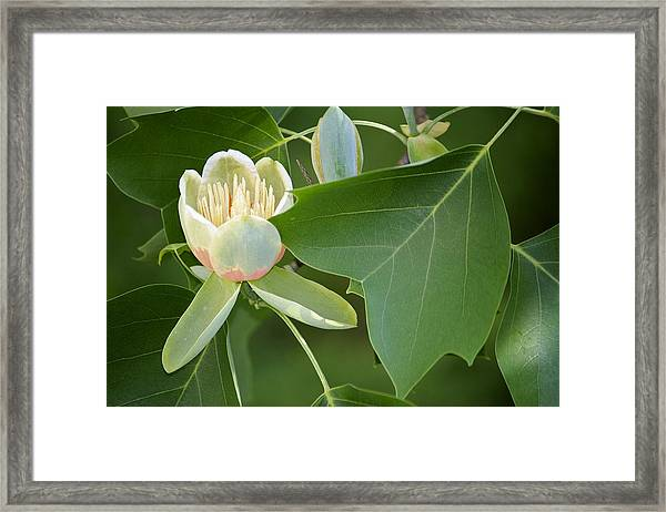 Tulip Tree Framed Print