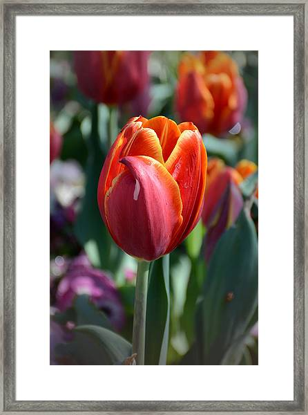 Tulip With A Twist Framed Print