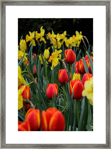 Tulips And Daffodils Framed Print