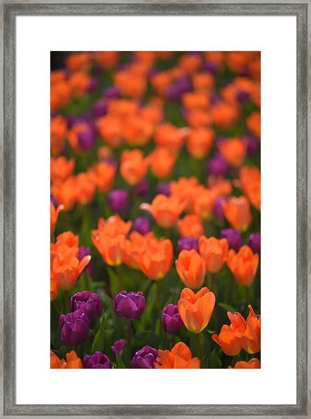 Tulips At Clevelands Botanical Gardens Framed Print