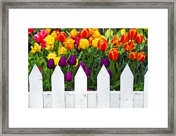 Tulips Behind White Fence Framed Print