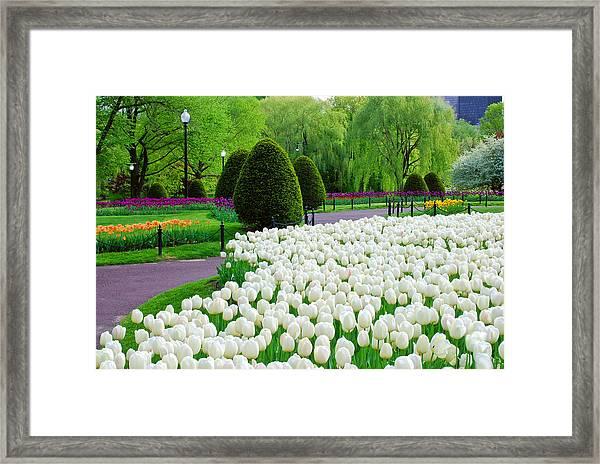Tulips Boston Public Gardens  Framed Print