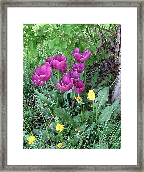 Tulips In Summer Framed Print