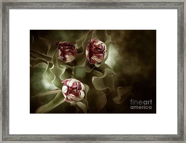 Tulips In The Mist  Framed Print