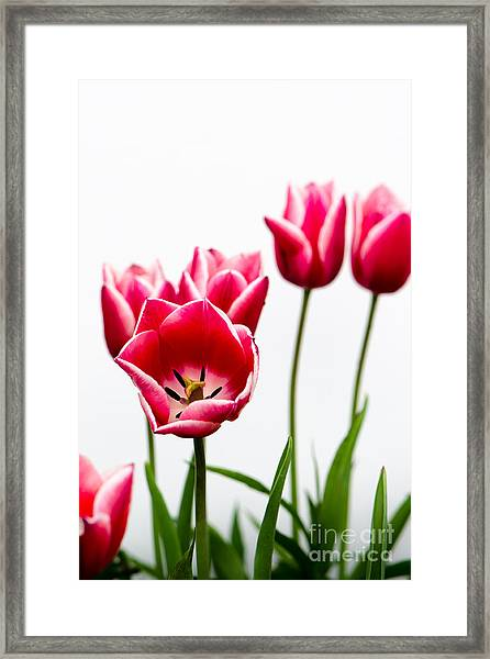 Tulips Say Hello Framed Print