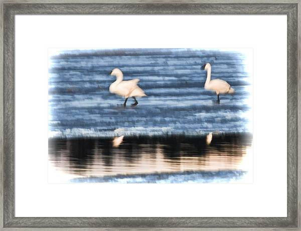 Framed Print featuring the photograph Tundra Swans Walking On Ice by Beth Sawickie
