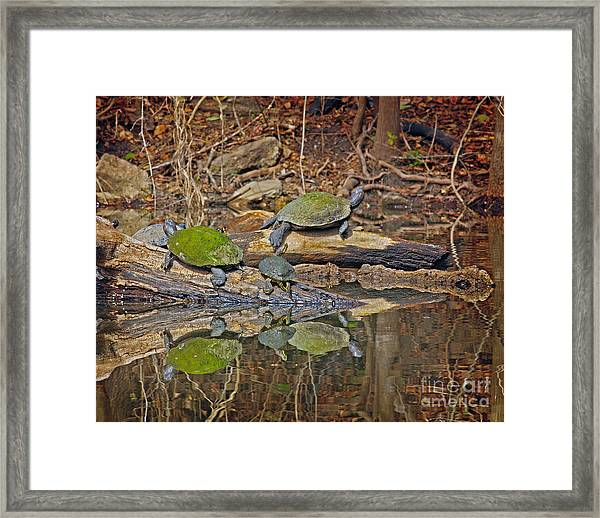 Turtle Trio Framed Print