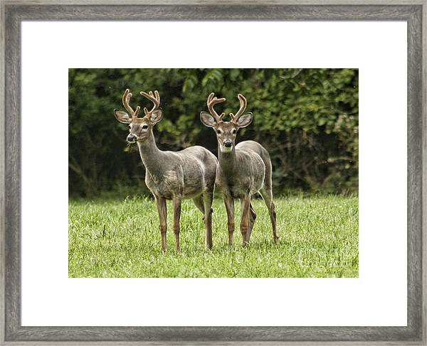 Twin Eight Point Bucks Framed Print