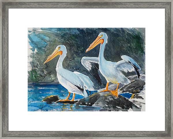 Da208 Twin Pelicans By Daniel Adams Framed Print