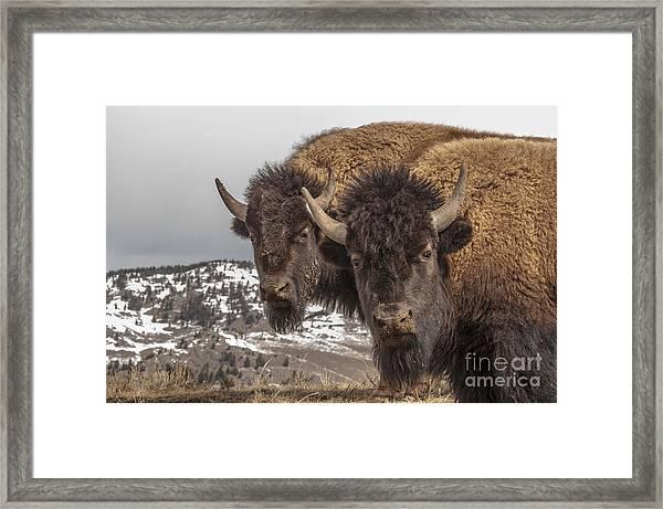 Two Bison Framed Print