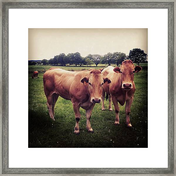 Two Brown Meat Cows Framed Print