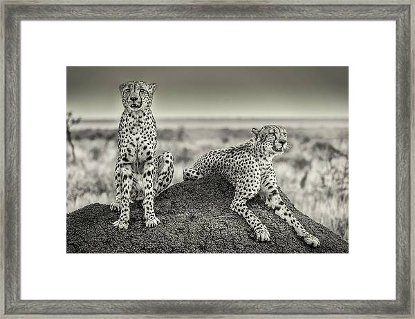 Two Cheetahs Watching Out Framed Print