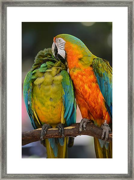 Two Colorful Macaws Framed Print
