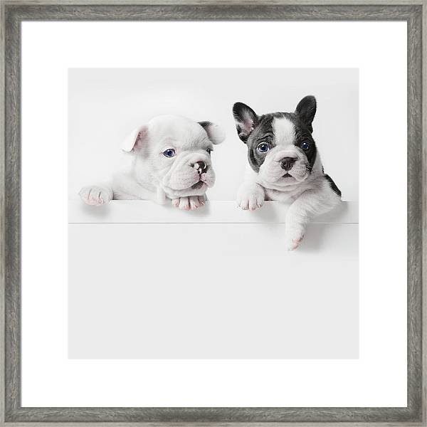 Two French Bulldog Puppies Peer Over A Framed Print by Andrew Bret Wallis