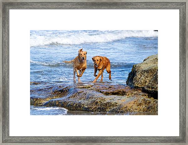 Two Golden Retriever Dogs Running On Beach Rocks Framed Print
