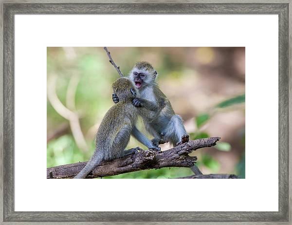 Two Juvenile Vervet Monkey Framed Print