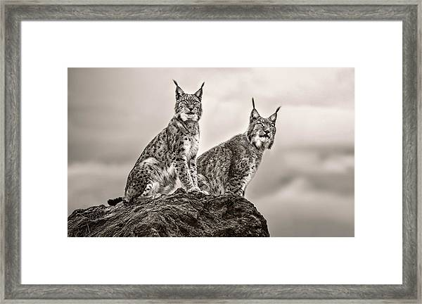 Two Lynx On Rock Framed Print