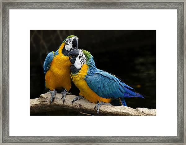 Two Parrots Squawking Framed Print