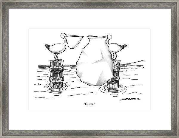 Two Pelicans Converse As The Other's Beak Framed Print