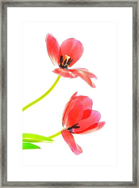 Two Red Transparent Flowers Framed Print