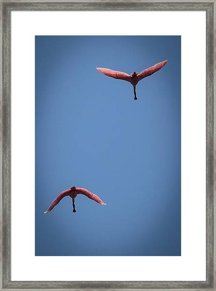 Two Spoonbills Overflying The Swamp Framed Print