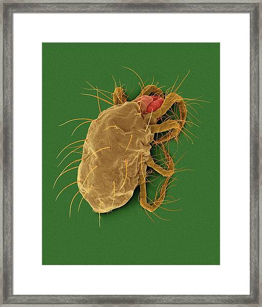 Two-spotted Spider Mite (tetranychus Spp.) Framed Print