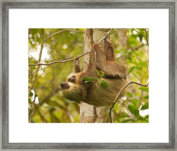 Two-toed Sloth Framed Print by Brian Magnier