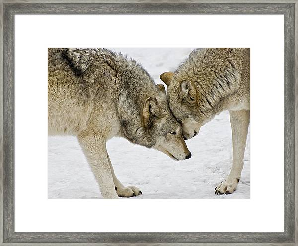 Two Wolves In  A Staredown Framed Print