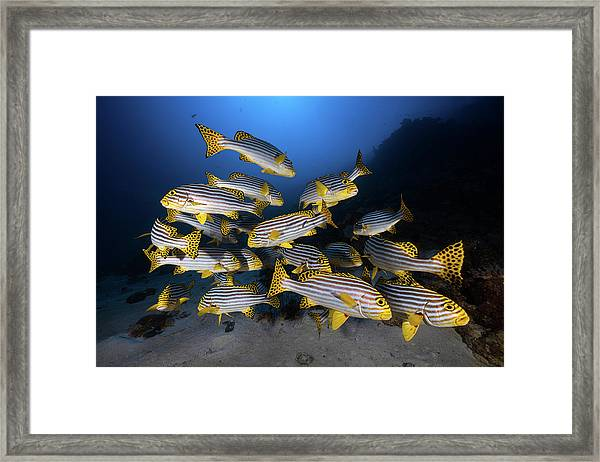 Underwater Photography-indian Ocean Sweetlips Framed Print