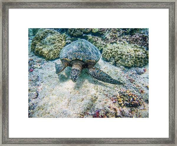 Swimming Turtle Framed Print