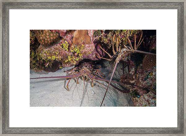 Up And Down Lobster Framed Print
