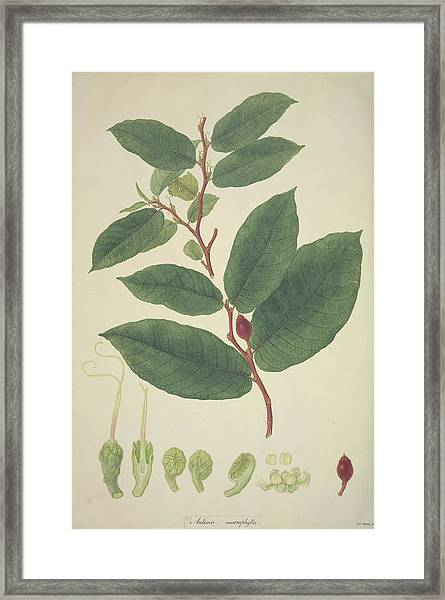 Upas Tree Leaves Framed Print by Natural History Museum, London/science Photo Library
