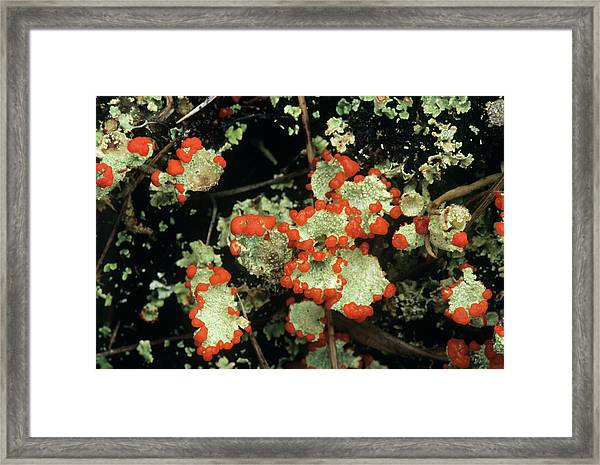Upland Lichen Framed Print by Bob Gibbons/science Photo Library